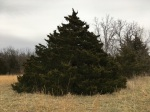 Photo of a large evergreen tree in a field of dry grass