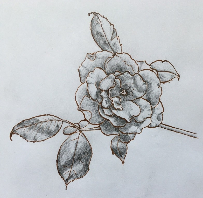 a pen and ink sketch of a tea rose