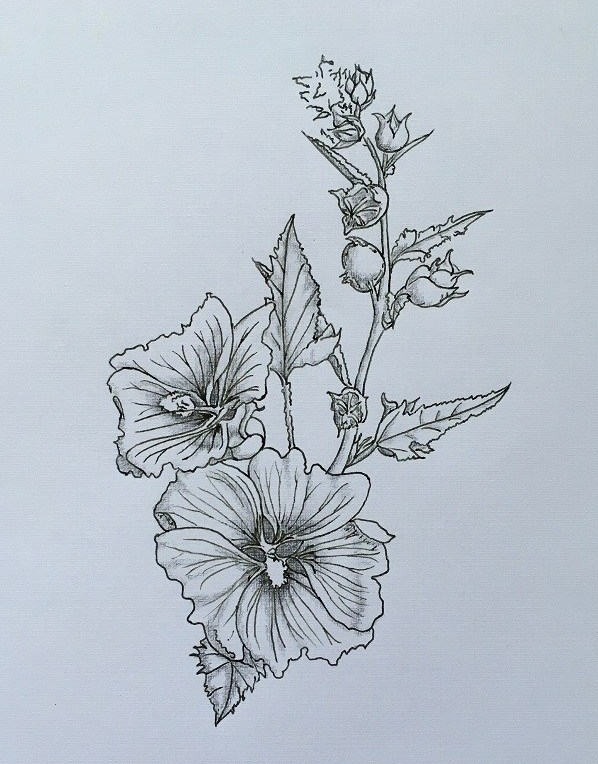 pen and ink sketch of an unknown plant with hibiscus-like flowers